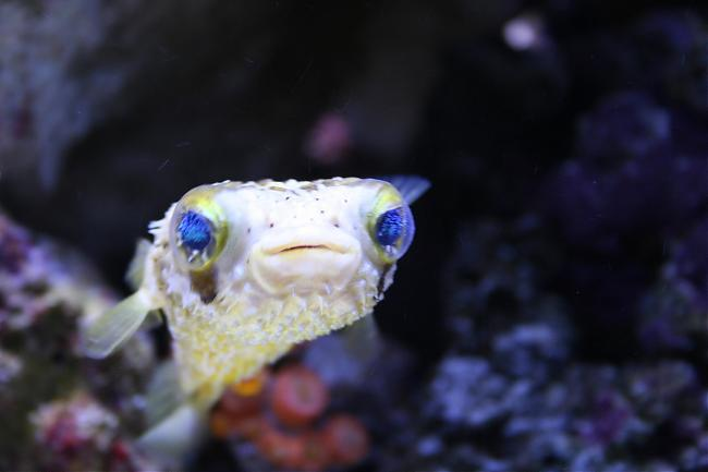 Here is my semi aggressive tank saltwaterfish forum for Aggressive saltwater fish