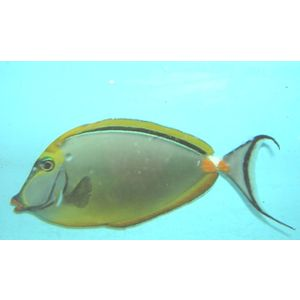 Blonde Naso Tang - Male - Large - With Streamers