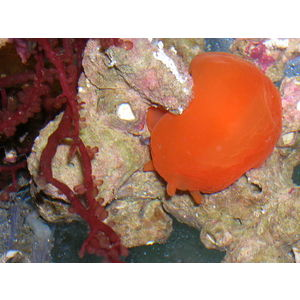 Orange Caribbean Nudibranch