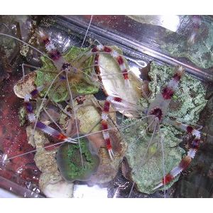 Coral Banded Shrimp - Mated Pair