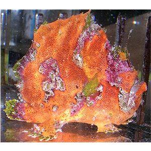 Frogfish - Orange