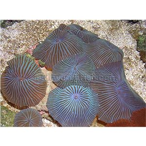Mushroom Coral - Blue Stripe