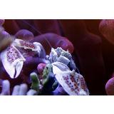 Anemone Crab - White