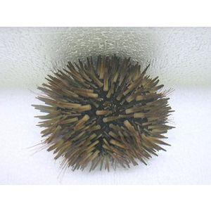 Bali Short Spine Urchin