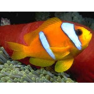 Bicinctus Clownfish - Aquacultured