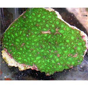 Brain Coral - Favia Green