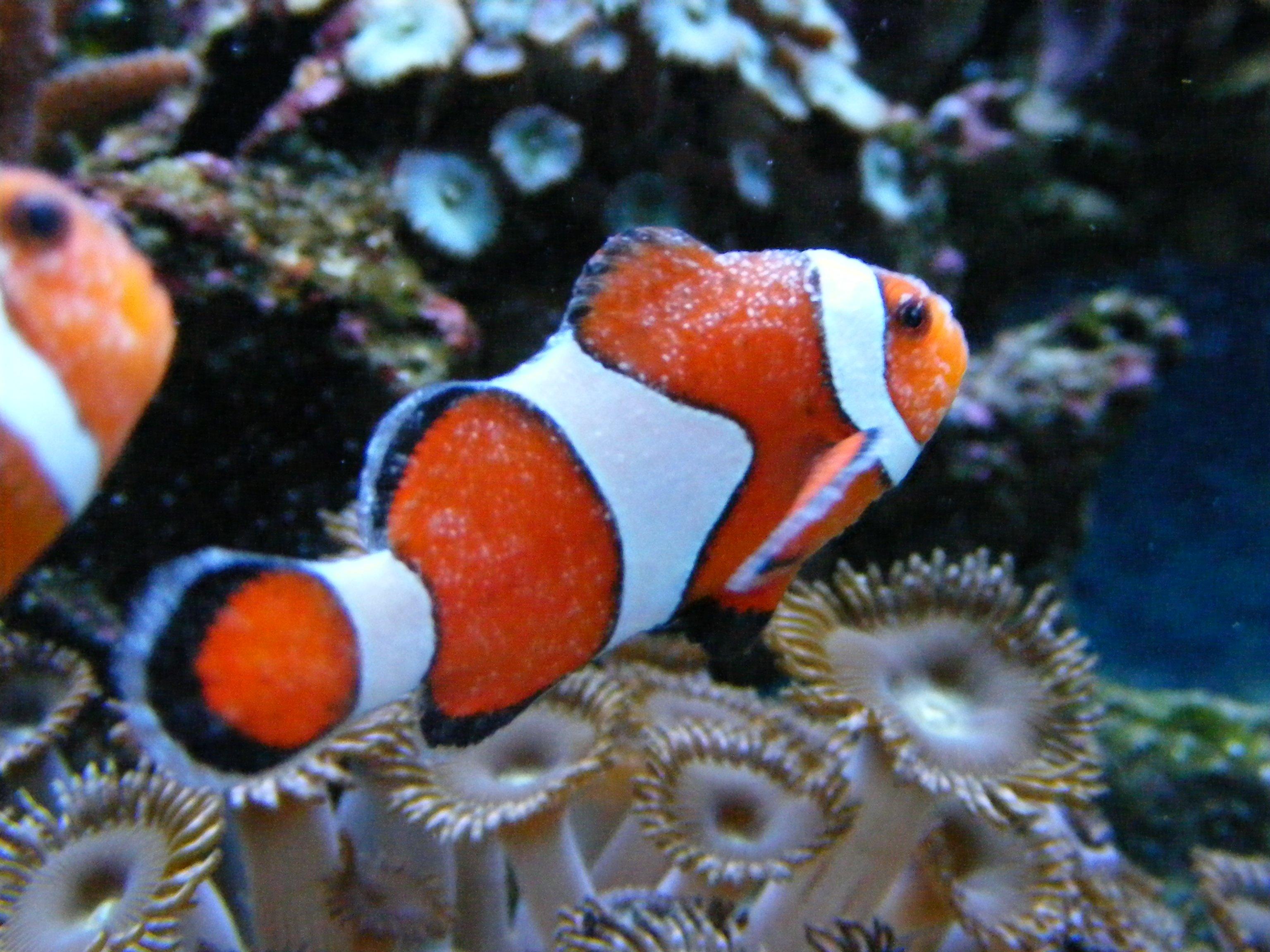 Ich micu journal saltwaterfish forum for Ick in fish tank