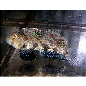 4-Wheel Drive Goby