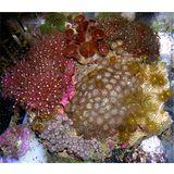 Aquacultured Multirock w/ Super Pinks