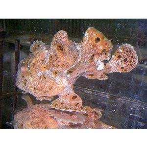 Frogfish - Rusty