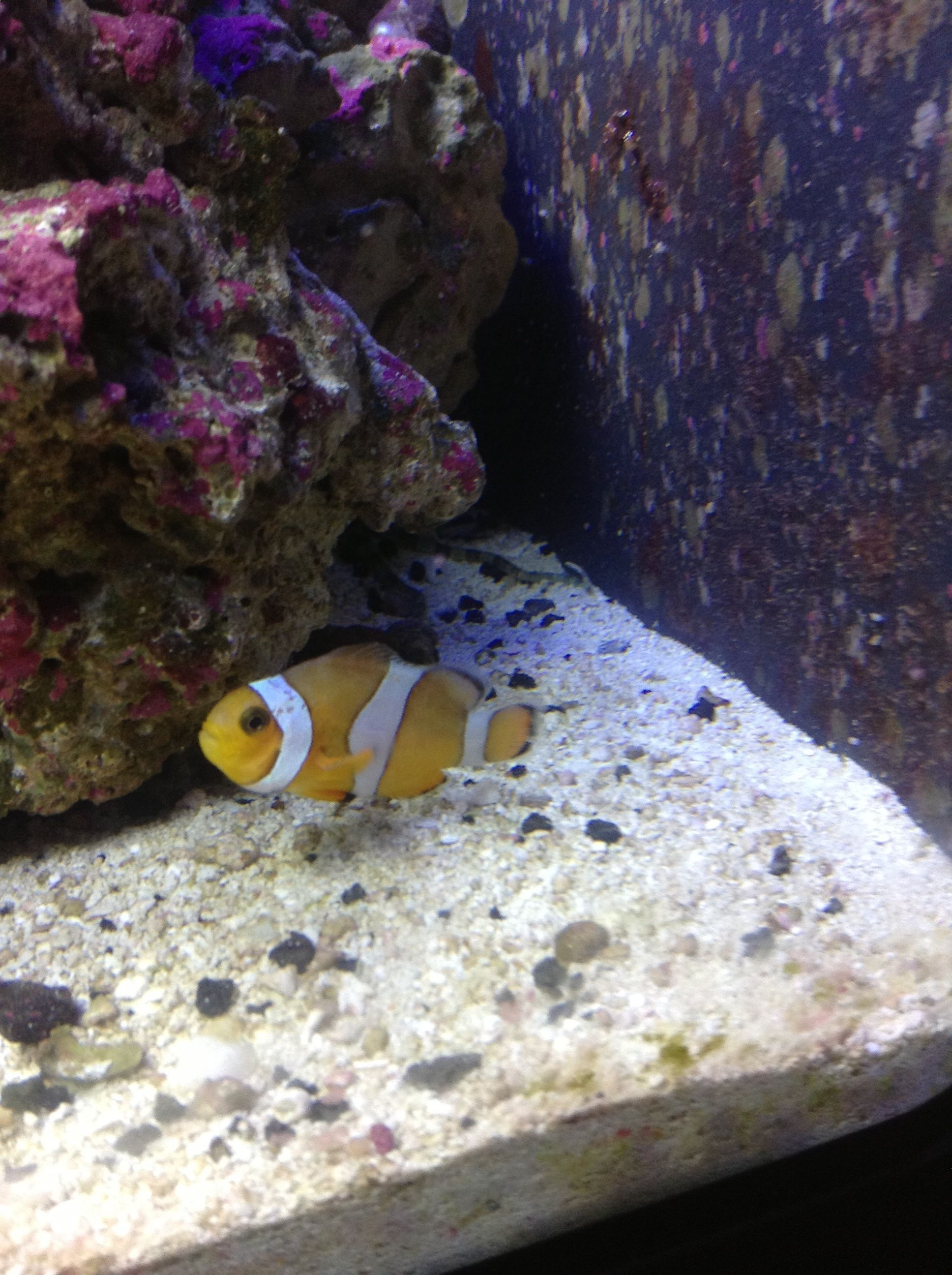 clownfish losing color help saltwaterfish com forums for fish