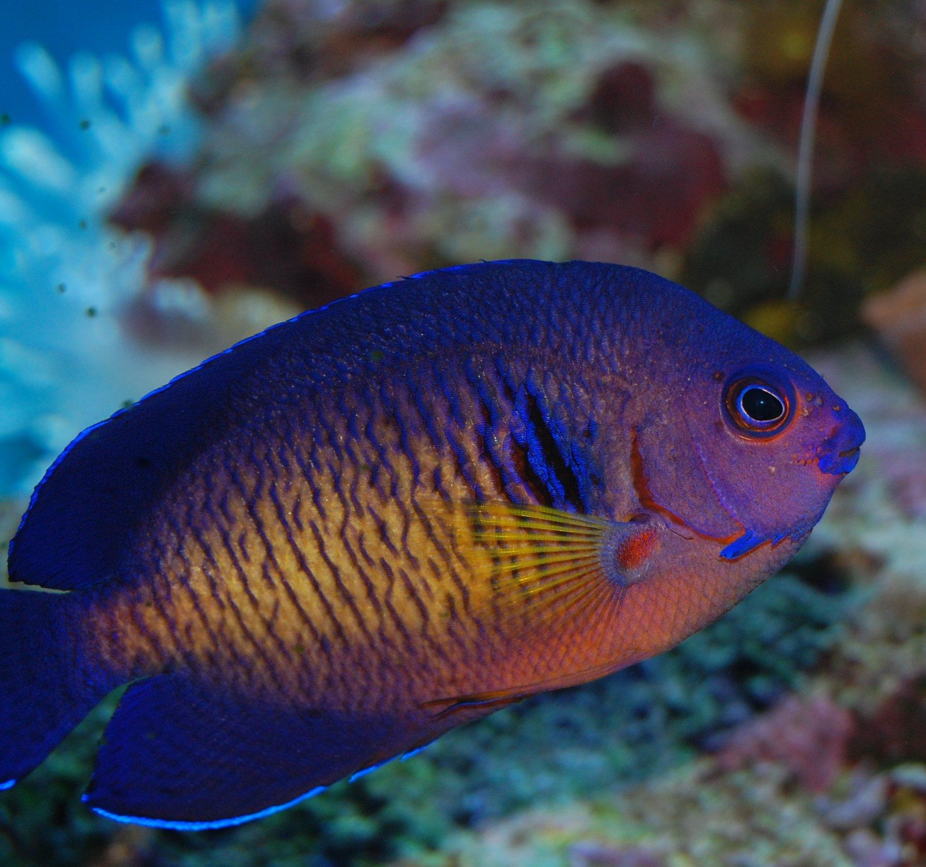 CORAL BEAUTY LOVERS...LOOK!!! | Saltwaterfish Forum