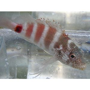 Red Banded Hawkfish