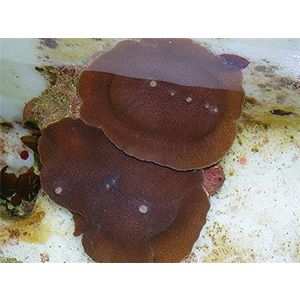 Mushroom Coral - Elephant Ear