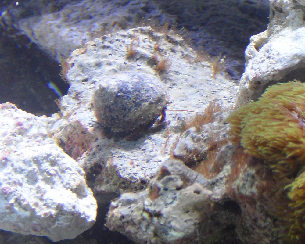 Red hair algae on new snails saltwaterfish forum for How to get rid of snails in fish tank