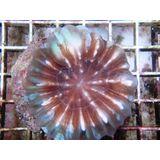 Brain Coral - Glass Goblet
