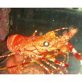 Banded Reef Lobster