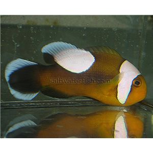 Caramel Clownfish- Aquacultured