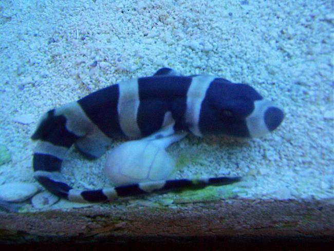 bamboo shark tank - photo #24