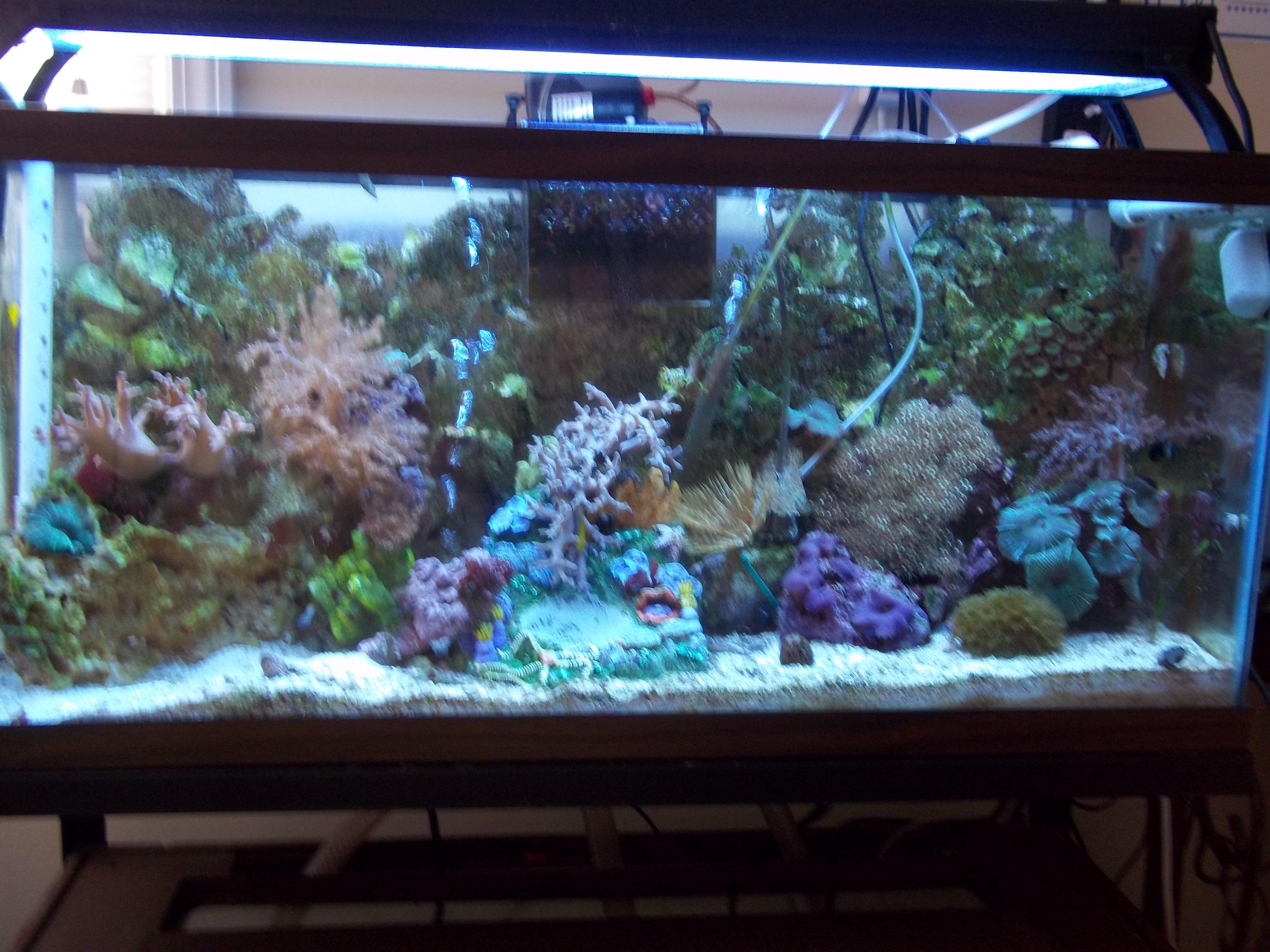 Dwarf seahorses page 2 saltwaterfish forum for Seahorse fish tank