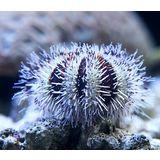 Bali Pincushion Urchin