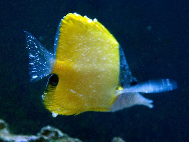 Longnose Butterfly With Lymphocystis Saltwaterfish Forum