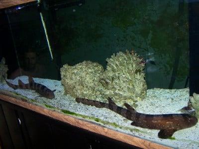 bamboo shark tank - photo #20