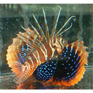 Blackfoot Lionfish - Venomous