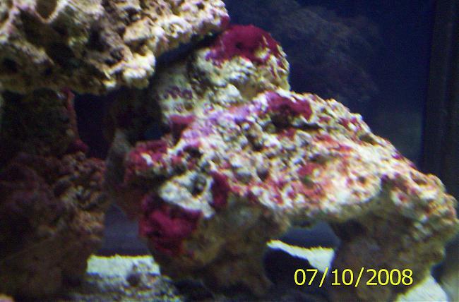 Coraline algae or cyano saltwaterfish forum for Red algae in fish tank