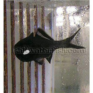 Flashlight Fish