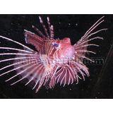 Antenneta Lionfish - Venomous