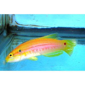 Twin Spot Hogfish