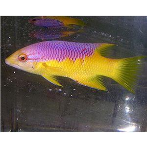 Spanish Hogfish - Large