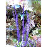 Purple Sea Whip