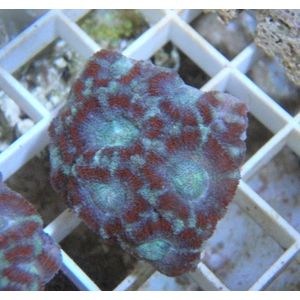 Acan Frags