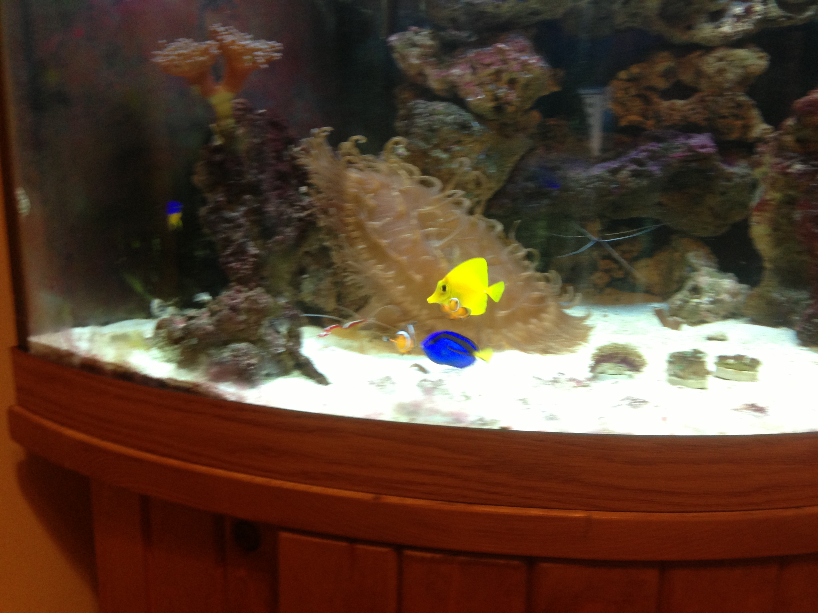 Freshwater fish have white spots - I Have 1 Yellow Tang 2 Clown Fish 2 Cleaner Shrimp 1 Large Anemone Pajama Cardinal 4 Damsels Dark Blue No Spots